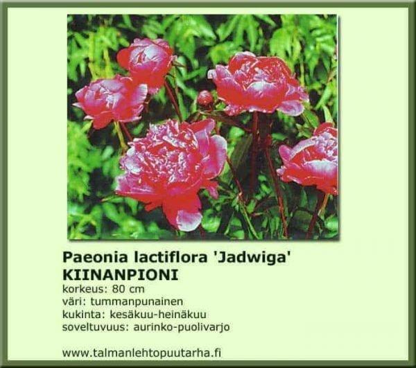 Paeonia lactiflora 'Jadwiga' Kiinanpioni