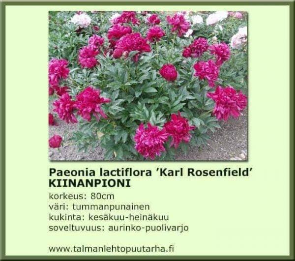 Paeonia lactiflora 'Karl Rosenfield' Kiinanpioni