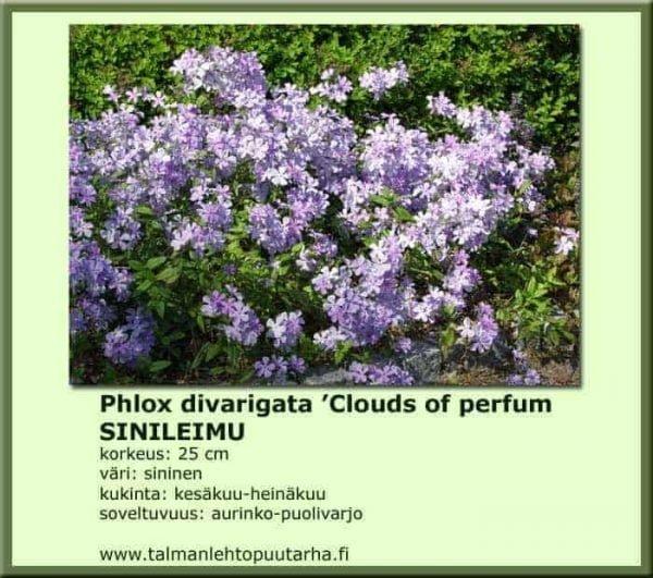 Phlox divarigata 'Clouds of Perfume' Sinileimu