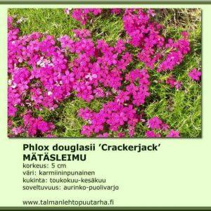 Phlox douglasii 'Crackerjack' Mätäsleimu