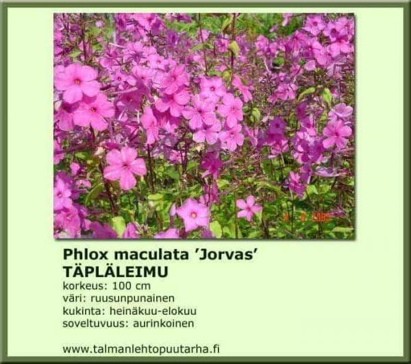 Phlox maculata 'Jorvas' Täpläleimu