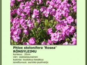 Phlox stolonifera 'Rosea' Rönsyleimu