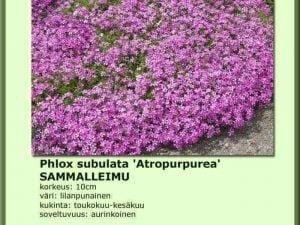 Phlox subulata 'Atropurpurea' Sammalleimu