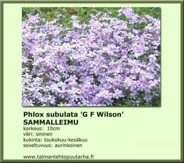 Phlox subulata 'G F Wilson' Sammalleimu