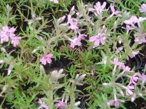 Phlox Subulata Rosette Sammalleimu