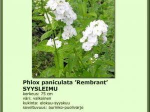 Phlox paniculata 'Rembrandt' Syysleimu