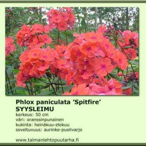 Phlox paniculata 'Spitfire' Syysleimu
