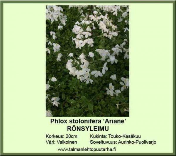 Phlox stolonifera 'Ariane' Rönsyleimu