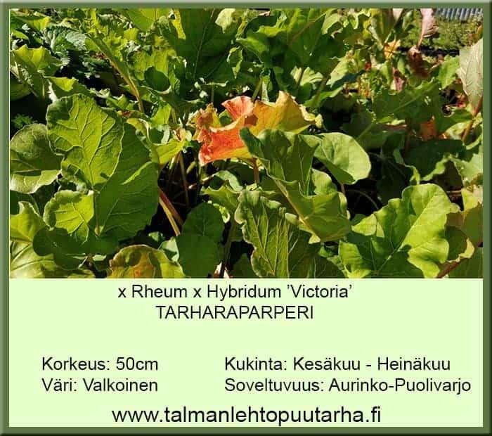 Rheum x hybridum 'Victoria' Tarharaparperi