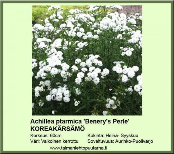 Achillea p. 'Benery's Perle' - Koreakärsämö 1