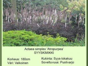 Actaea (Cimicif.) simplex 'Atropurpurea' Syyskimikki