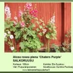 Alcea rosea plena 'Chaters violet' Salkoruusu
