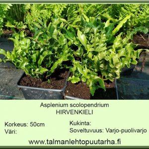 Asplenium scolopendrium Hirvenkieli