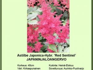 Astilbe Japonica-Hybr. 'Red sentinel' Japaninjaloangervo