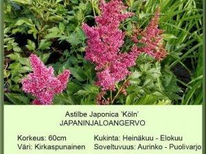 Astilbe Japonica-Hybr. 'Köln' Japaninjaloangervo