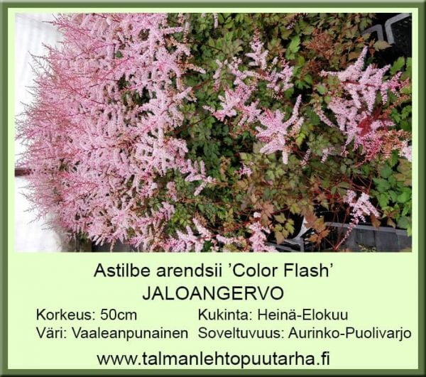 Astilbe Arendsii 'Colour Flash' jaloangervo