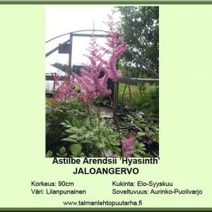 Astilbe Arendsii 'Hyasinth' jaloangervo