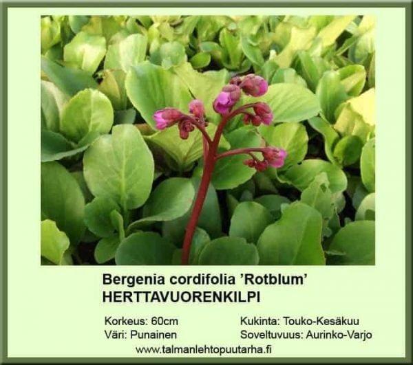 Bergenia cordifolia 'Rotblum' Herttavuorenkilpi