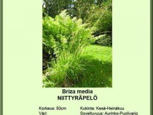Briza media Niittyräpelö