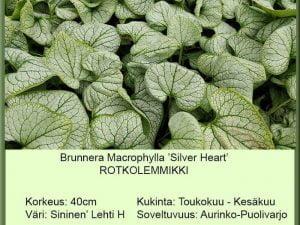 Brunnera macrophylla 'Silver Heart' Rotkolemmikki