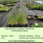 Calamagrostis x acutiflora 'Karl Foerster' Koristekastikka
