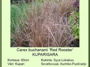 Carex Buchananii 'Red Rooster' Kuparisara
