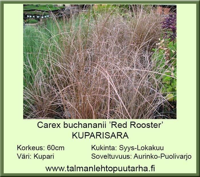 Carex Buchananii 'Red Rooster' Kuparisara