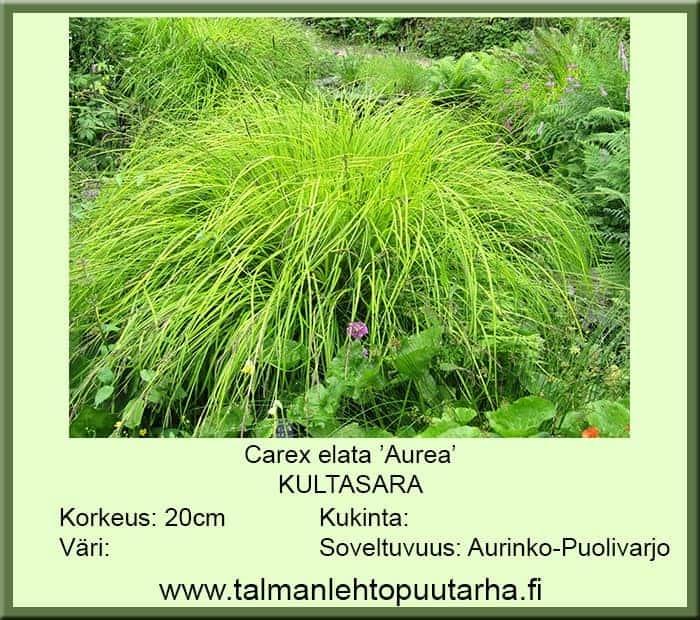 Carex aurea Kultasara
