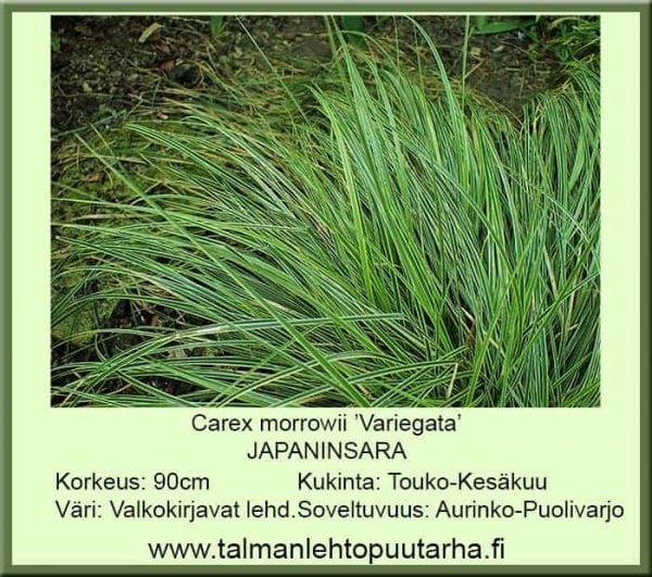 Carex morrowii 'Variegata' Japaninsara