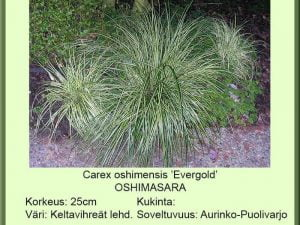 Carex oshimensis 'Evergold' Oshimasara