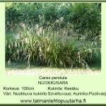 Carex pendula Nuokkusara