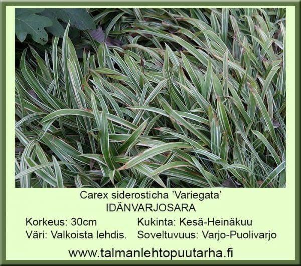 Carex siderosticha Variegata Idänvarjosara