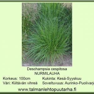 Deschampsia caespitosa Nurmilauha