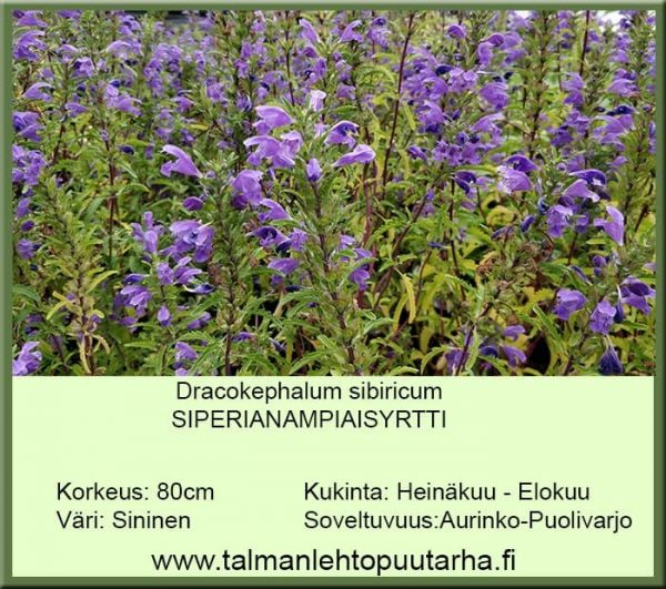 Dracokephalum sibiricum Siperianampiaisyrtti