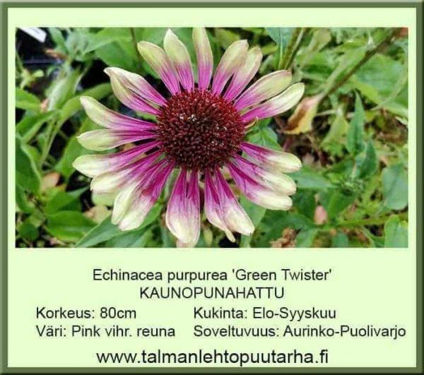 Echinacea purpurea 'Green Twister' Kaunopunahattu