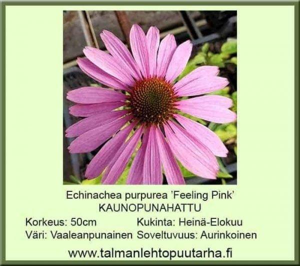 Echinacea purpurea 'Feeling Pink' Kaunopunahattu
