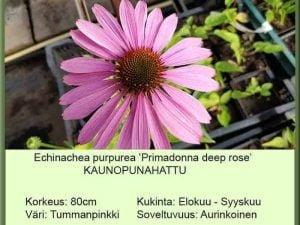 Echinacea purpurea 'Primadonna Deep rose' Kaunopunahattu