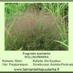 Eragrostis spectabilis Röllinurmikka