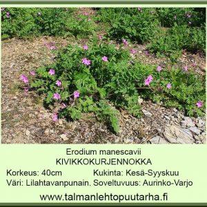 Erodium manescavii Kivikkokurjennokka