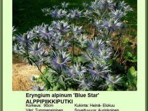 Eryngium alpinum 'Blue Star' Alppipiikkiputki