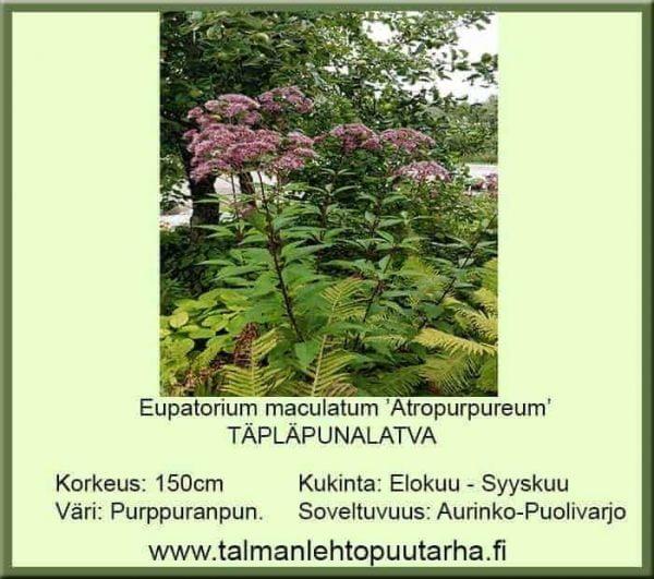Eupatorium maculatum 'Atropurpureum' Täpläpunalatva
