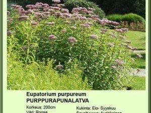 eupatorium purpureum purppurapunalatva
