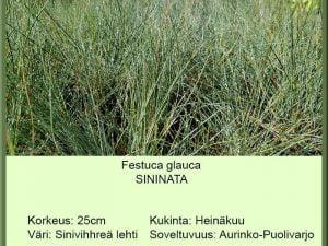Festuca glauca Sininata