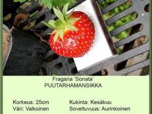 Fragaria x ananassa 'Sonata' Puutarhamansikka