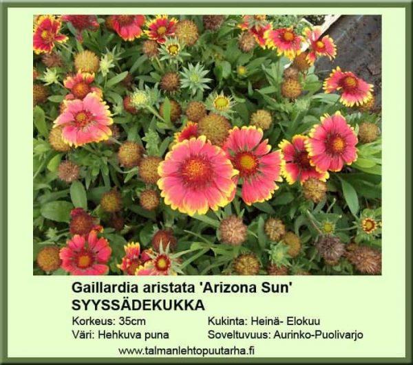 Gaillardia aristata 'Arizona Sun' Syyssädekukka