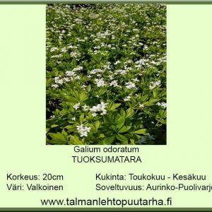 Galium odoratum Tuoksumatara