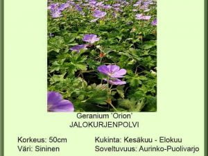 Geranium 'Orion' Jalokurjenpolvi