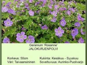 Geranium 'Rosanne' Jalokurjenpolvi