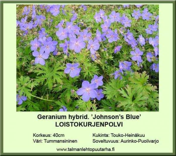 Geranium hybrid. 'Johnson's Blue' Loistokurjenpolvi