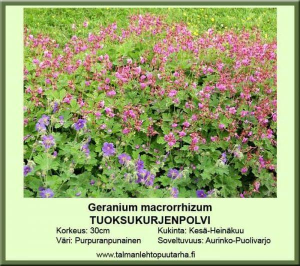 Geranium macrorrhizum Tuoksukurjenpolvi